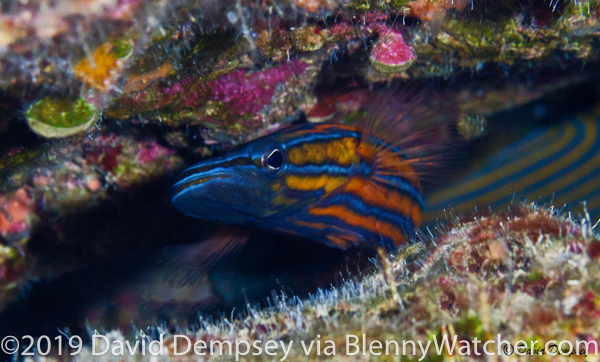 Rainfordia opercularis, Flathead Perch by Dave Dempsey