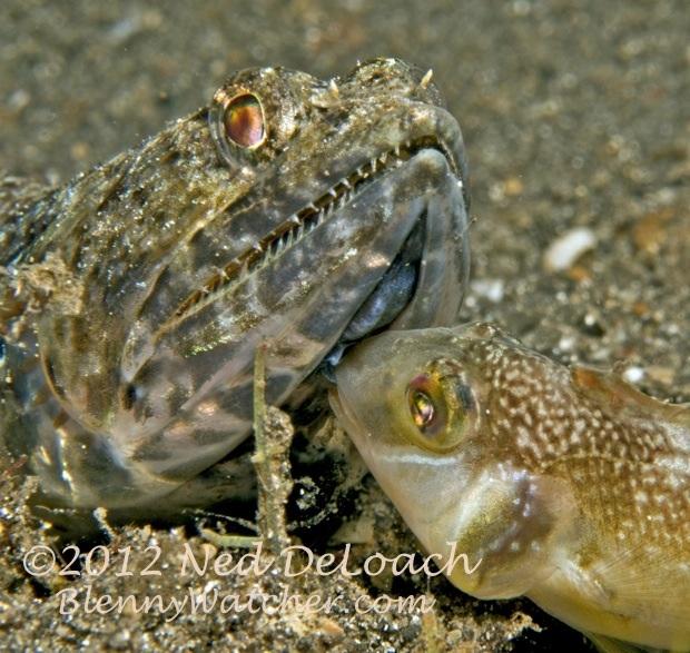 Why is this razorfish biting this lizardfish?