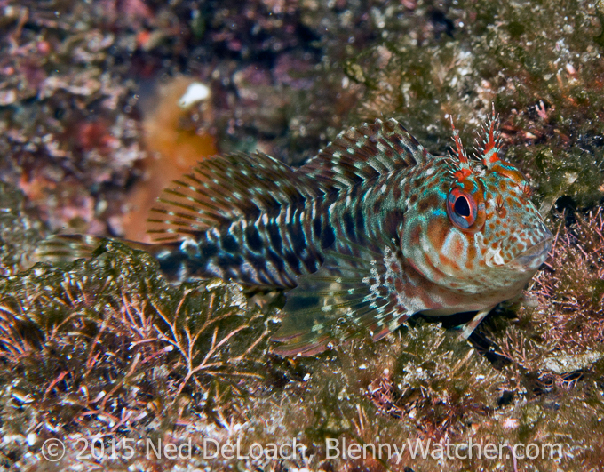 Red Blenny, Parablennius ruber - Blennywatcher's 2016 Review