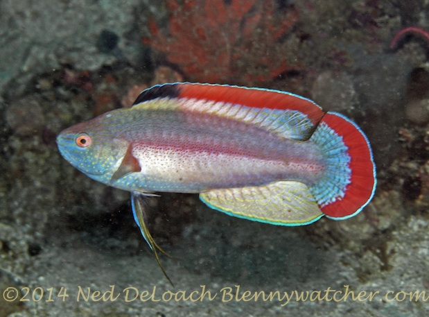 Red-margined Wrasse by Ned DeLoach