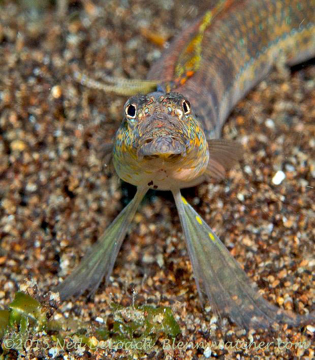 Sand diver face from Dauin, Philippines
