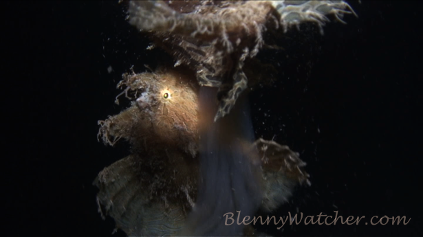 Spawning Frogfish1 Anna DeLoach BlennyWatcher.com