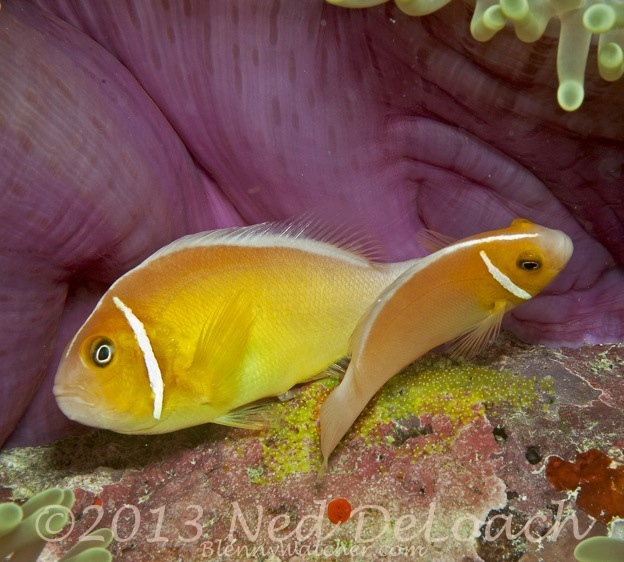Spawning Pink Anemonefish Ned DeLoach BlennyWatcher.com