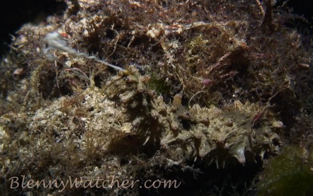 Spawning echinoderm: Sea cucumber (Holothuria cf. impatiens)