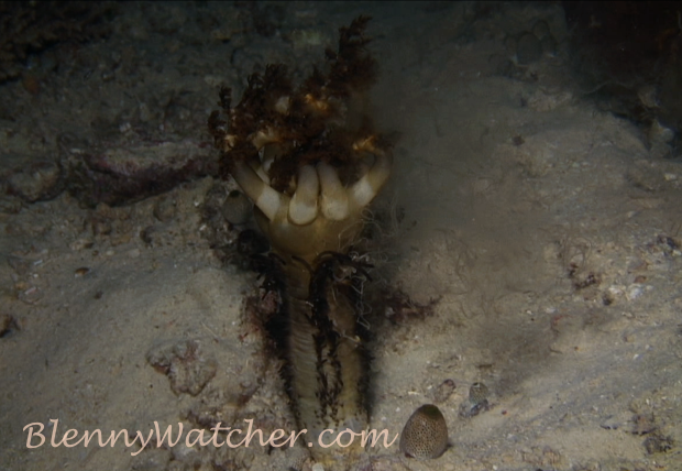 Spawning Echinoderm: Sea Cucumber