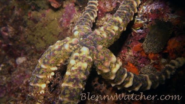 Spawning echinoderm: Warty Sea Star