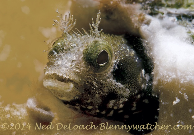 Spinyhead Blenny by Ned DeLoach