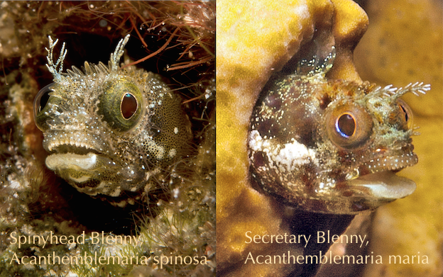 Spinyhead (Acanthemblemaria spinosa) vs. Secretary Blenny (Acanthemblemaria maria)