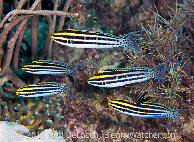 Striped Fangblenny, Meiacanthus grammistes