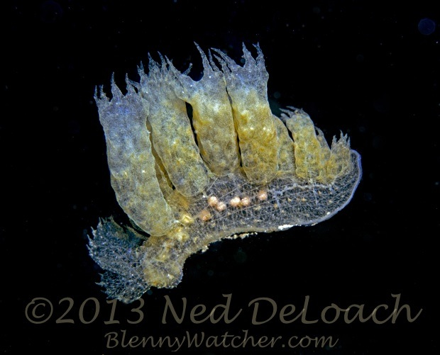 Swimming Melibe nudibranch from Ambon Ned DeLoach BlennyWatcher.com