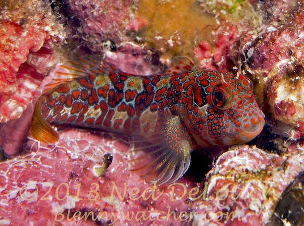 Tessellated Blenny by Ned DeLoach Blennywatcher.com