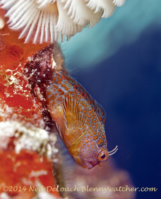 Tessellated Blenny trying to attract a female by Ned DeLoach