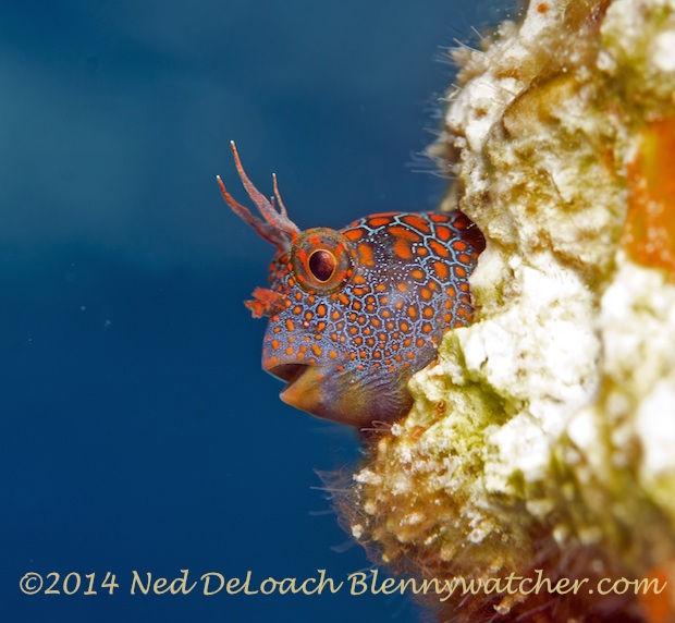 The Tessellated Blenny that started it all Ned DeLoach