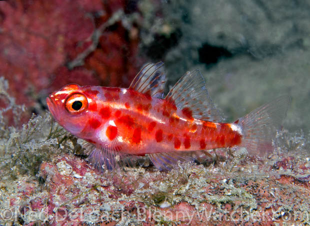 Unidentified Goby