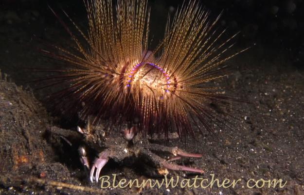 Urchin carry crab Anna DeLoach BlennyWatcher.com