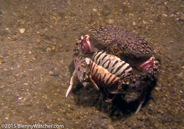Ocellate Box Crab, Calappa ocellata, male grasping a molting female