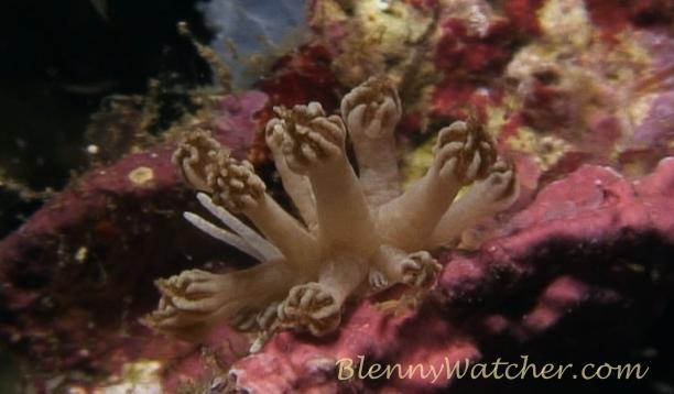 Xenia soft coral mimic nudibranch Anna DeLoach BlennyWatcher.com