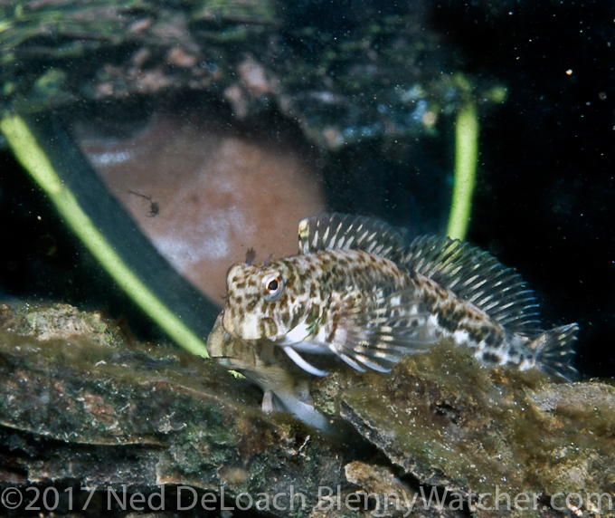 Yan & blenny - The Reluctant Blenny Hunters