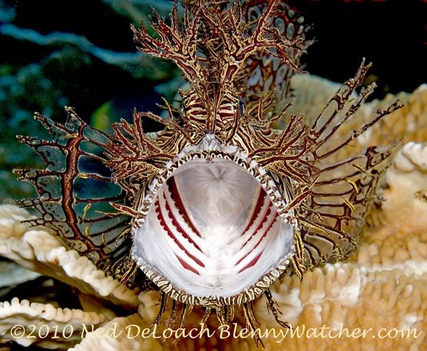 Yawning Lacy Rhinopias by Ned DeLoach Blennywatcher.com